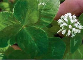 Ladino Clover Seed (California)