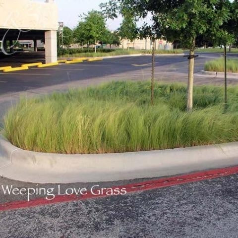 Weeping Lovegrass Seed