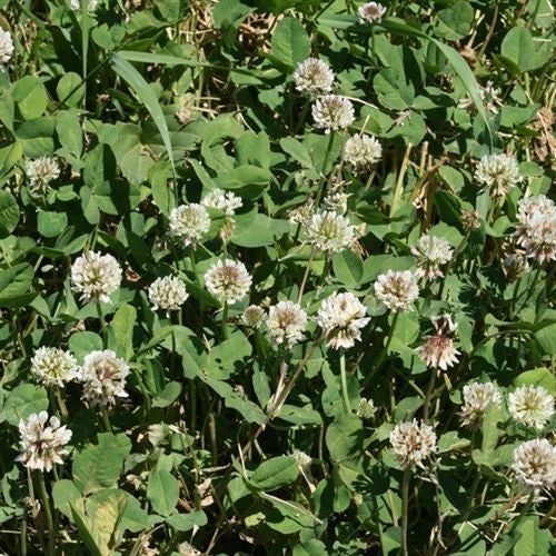 Ladino Clover Seed (White Ladino)