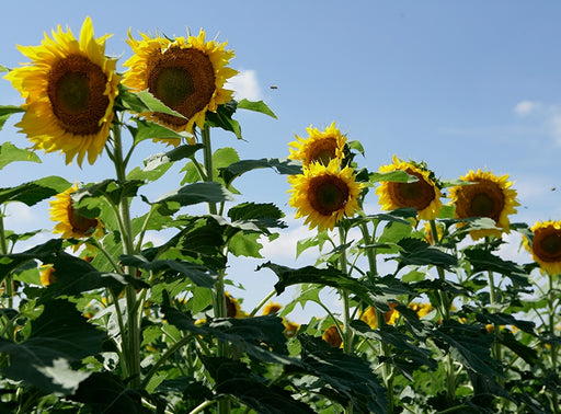 Clearfield Lonesome Dove Sunflower Seeds - 25 Lbs.
