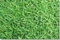 SeedRanch Carpetgrass Seed - 20 Lbs.