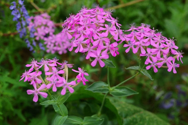 Heirloom Catchfly - packet