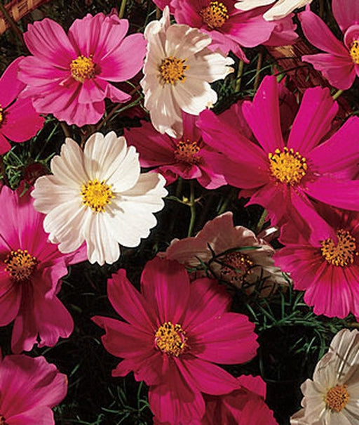 Cosmos Early Sensation Seed - 1 Packet