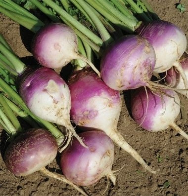 SeedRanch Turnip Seed Purple Top White Globe - 20 Lbs.