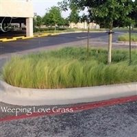 SeedRanch Weeping Lovegrass Seed - 1 Lb.