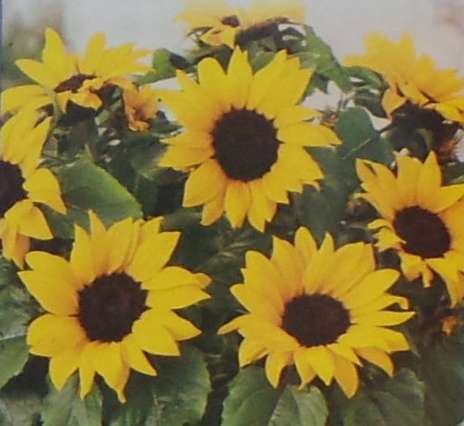 Sunflower Dwarf Sunspot Seed - 1 Packet