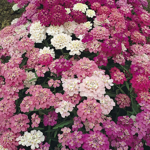 Heirloom Umbellata Candytuft - packet