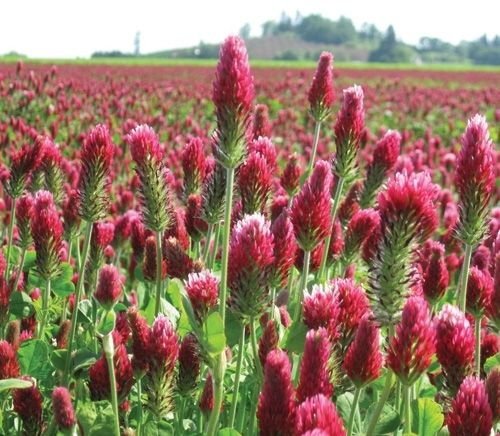 SeedRanch Crimson Clover Seed Coated - 1 Lb.