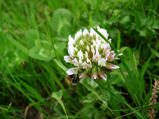 White Dutch Clover Seed Nitro Coated & Inoculated- 1 Lb.