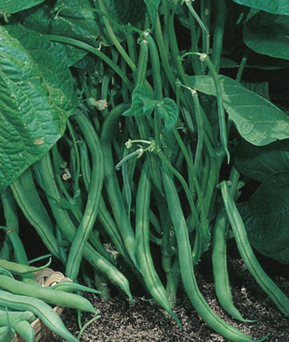 Garden Bean Bush Blue Lake 274 Seed - 1 Packet