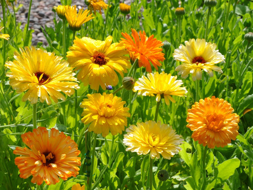 Calendula Pacific Beauty Mix Seed - 1 Packet