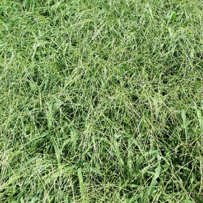 Red River Crabgrass Seed - 10 Lbs.