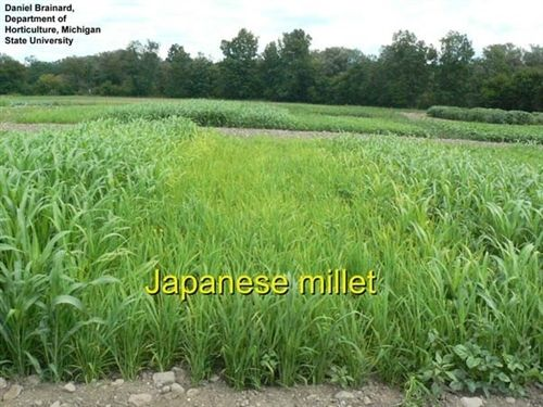 SeedRanch Japanese Millet Seed - 5 Lbs.