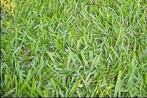 Argentine Bahia Pasture Grass Seed - 25 Lbs.