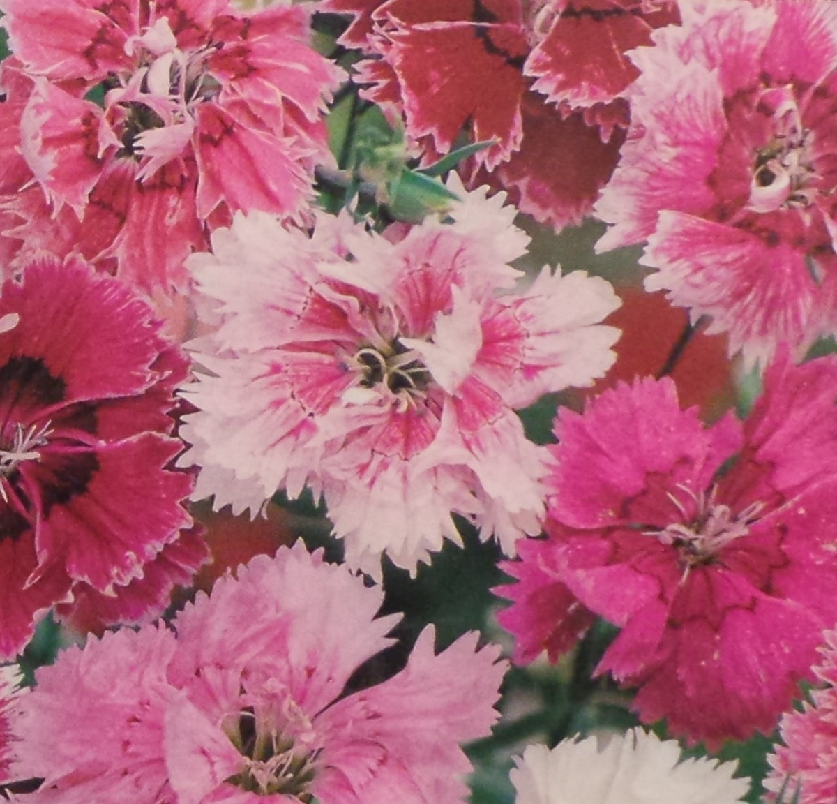 Pinks Dianthus Seed heirloom - 1 Packet