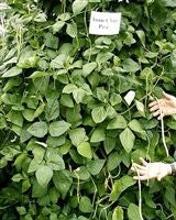 SeedRanch Iron & Clay Cowpeas - 50 Lbs.