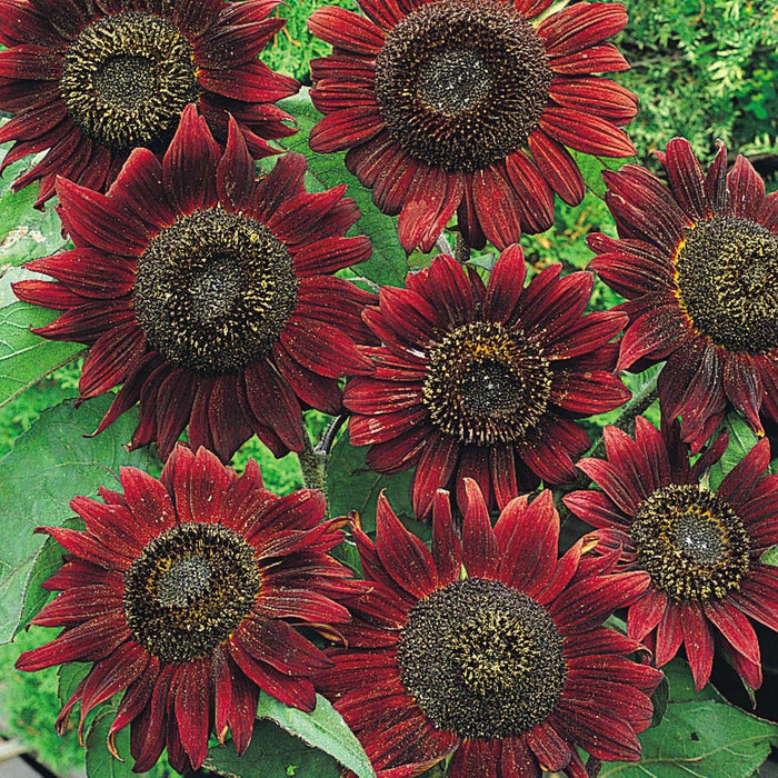 Sunflower Velvet Queen Seed Heirloom - 1 Packet