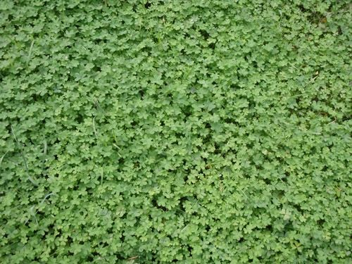Micro Clover Seed (Pipolina) - 1 Lb.