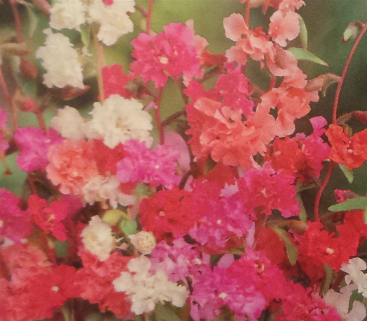 Clarkia Double Mix Seed - 1 Packet