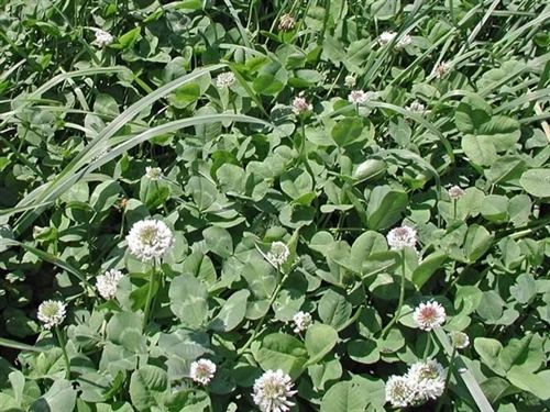 Patriot White Clover Seed - 20 Lbs.