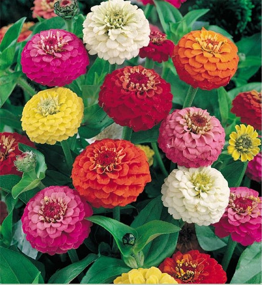 Zinnia Lilliput Mix Seed - 1 Packet