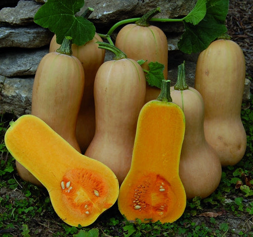 Squash Butternut, Waltham - packet