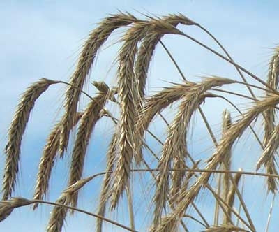 Wrens Abruzzi Winter Rye Grain Seed - 5 Lbs.