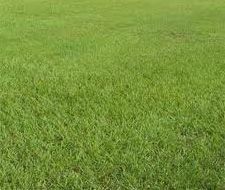 SeedRanch Pensacola Bahia Lawn Grass Seed Raw - 25 Lbs.