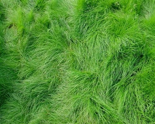 SeedRanch Creeping Red Fescue Grass Seed - 10 Lbs.