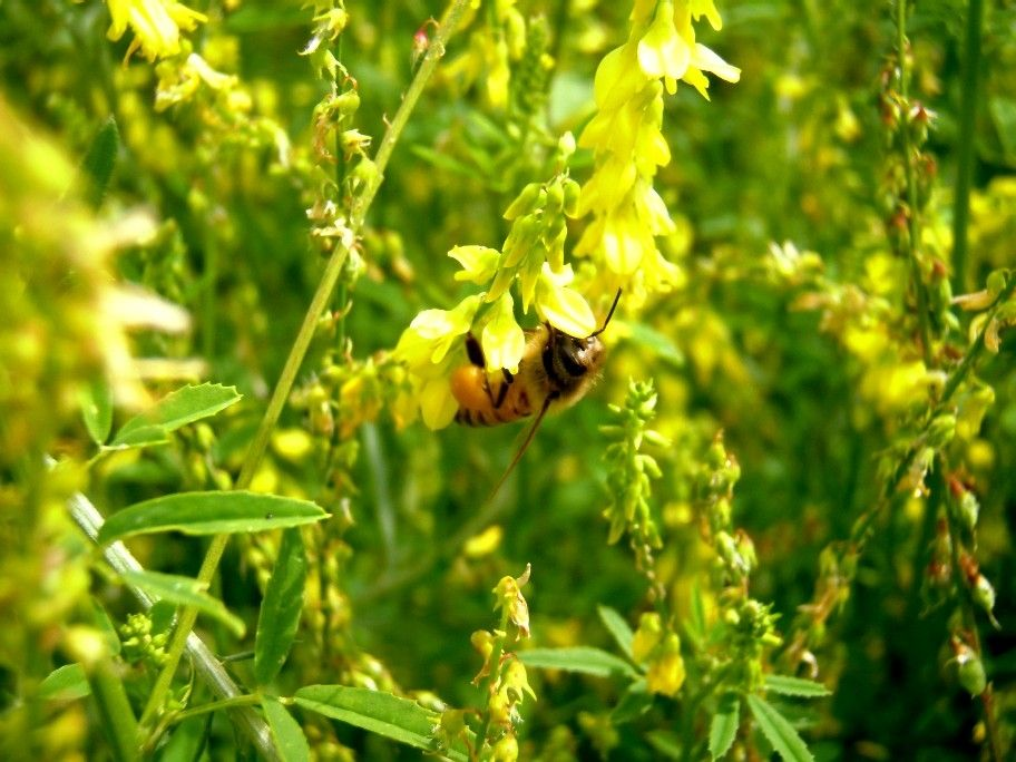 SeedRanch Yellow Sweet Blossom Clover - 10 Lbs.