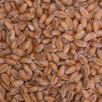 Georgia Gore Wheat Seed - 10 Lbs.