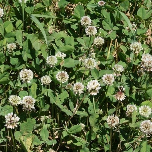 Regal Ladino Clover Seed - 10 Lbs.