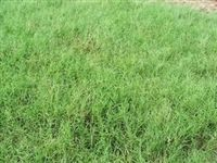 SeedRanch Giant Bermuda Grass Seed Hulled - 20 Lb.