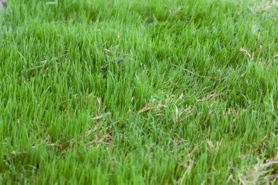 Bermuda Grass Seed Common Raw Hulled - 10 Lbs.