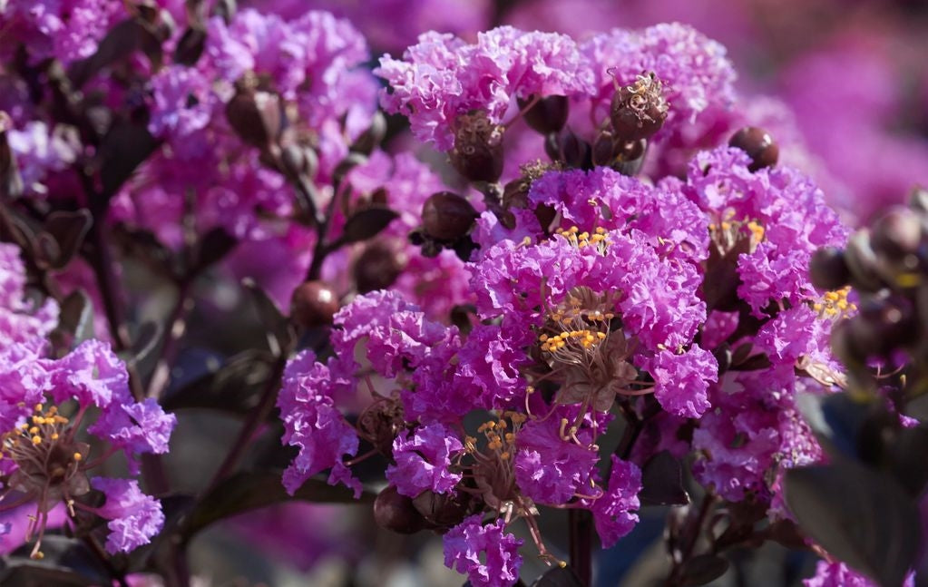 Black Diamond Crape Myrtle (Purely Purple)  - 1 Gallon
