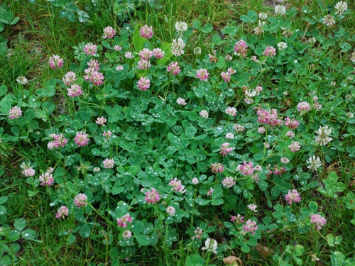 Alsike Clover Seed - 10 Lbs.