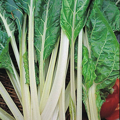 Swiss Chard Lucullus Seed Heirloom - 1 Packet