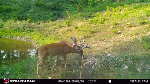 Buck eating mineral next to pond