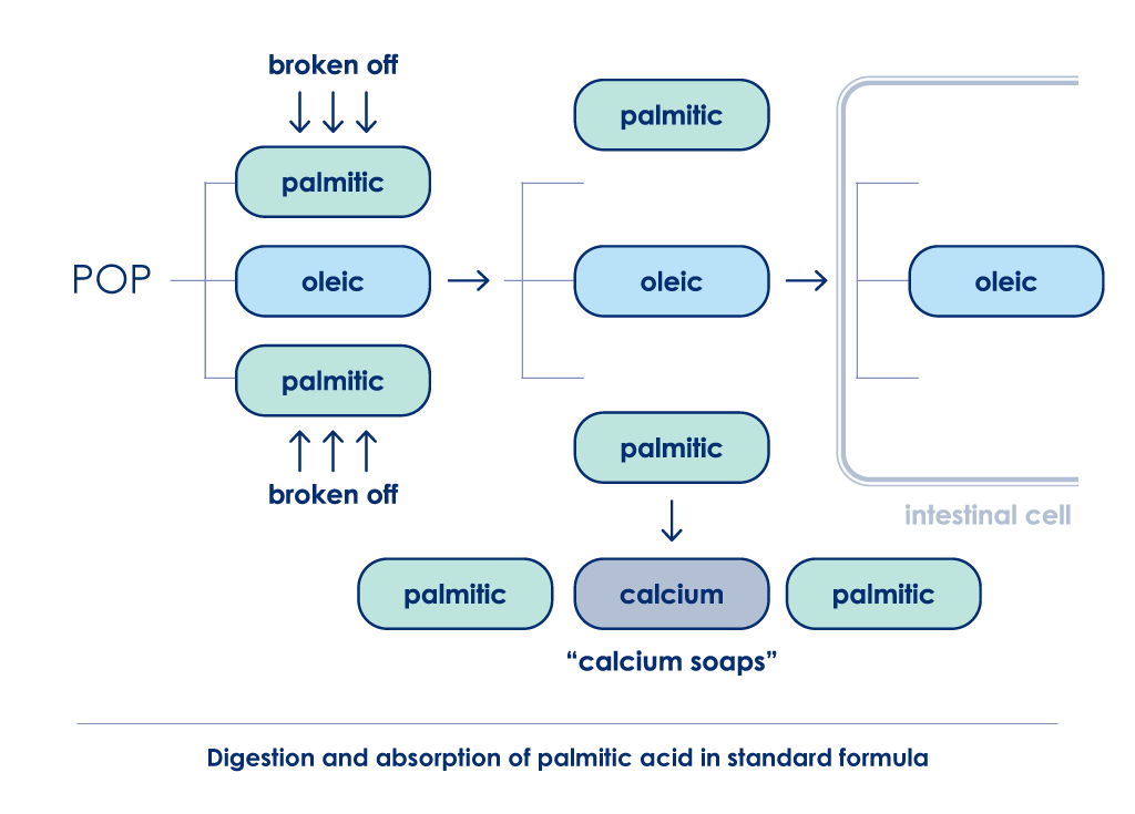 Digestion and absorption of palmitic acid in standard formula