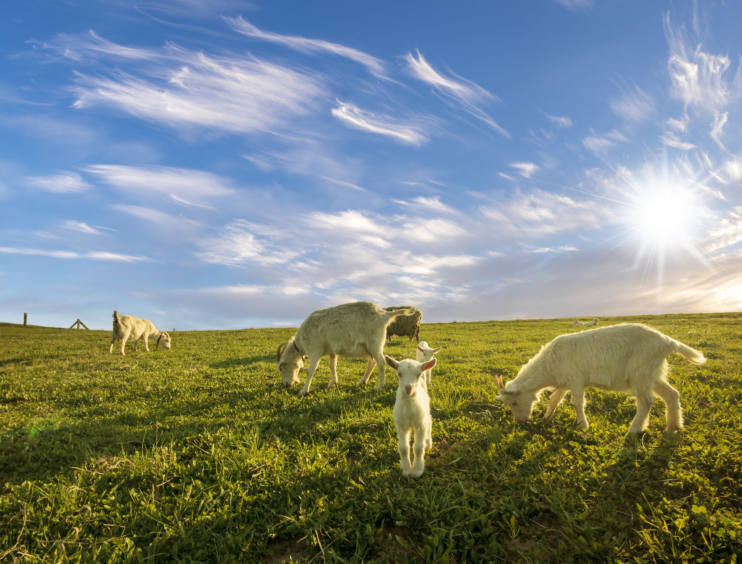 small herd of goats grazing in the meadow on a sunny day