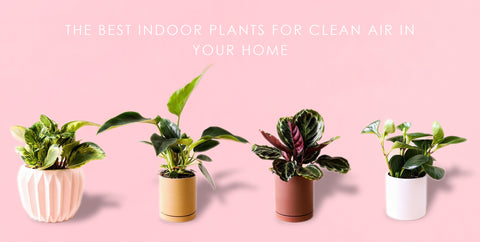 The Best Indoor Plants For Clean Air In Your Home Jungle Club
