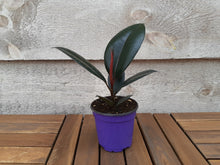 Load image into Gallery viewer, Rubber Plant Green