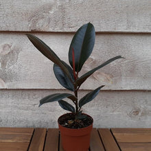 Load image into Gallery viewer, Rubber Plant 'Burgundy' 5""