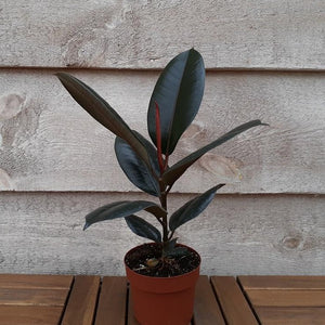 Rubber Plant 'Burgundy' 5""