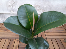 Load image into Gallery viewer, Rubber Plant 'Melany'