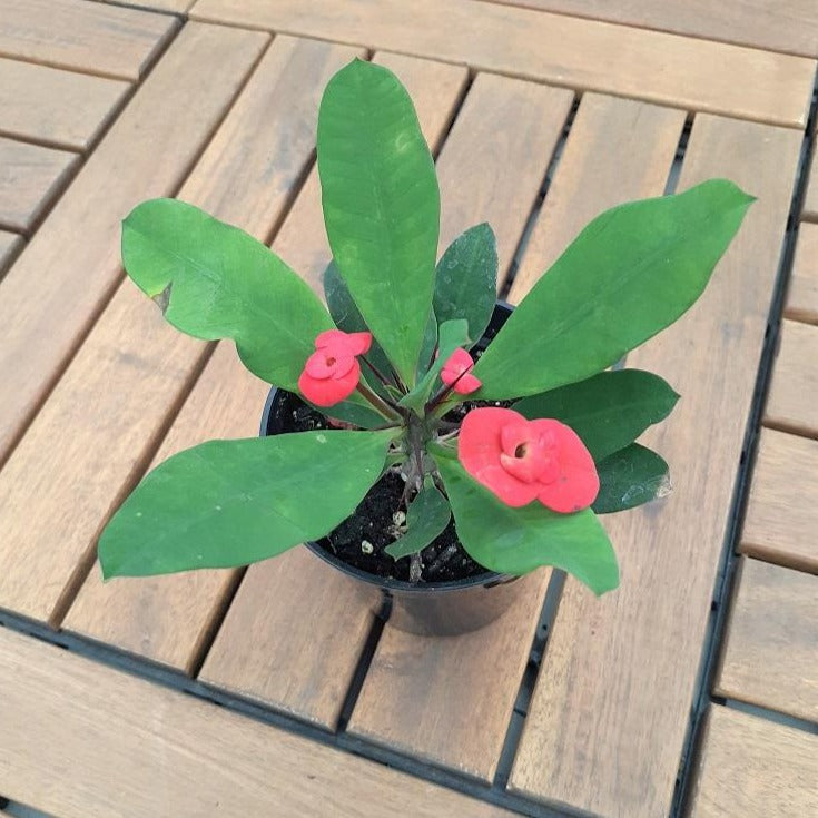 Euphorbia 'Crown of Thorns'