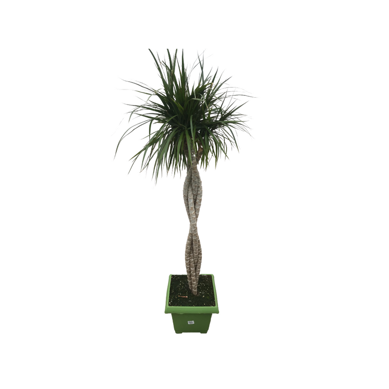 Dracaena Marginata Braided 10""