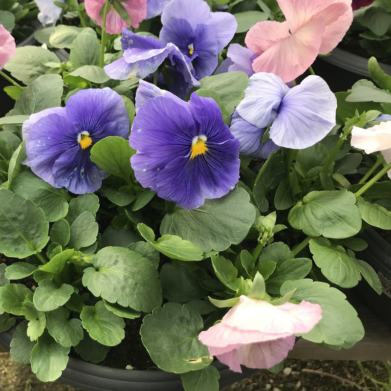 Pansy 'Delta Cotton Candy'