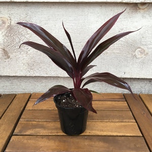"Cordyline, ""Purple Beauty"""