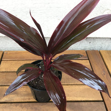 "Load image into Gallery viewer, Cordyline, ""Purple Beauty"""